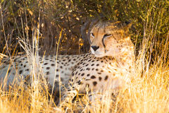Cheetah in the Etosha National Park, Namibia Stock Images