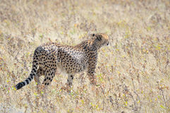 A Cheetah in the Etosha National Park 3 Royalty Free Stock Photos