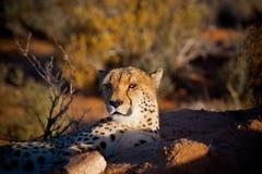 Cheetah In Evening Sun Stock Photos