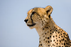 Cheetah face. The face and head of a cheetah in South Africa against the blue sky royalty free stock photo