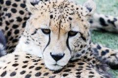 Cheetah face closeup Royalty Free Stock Images