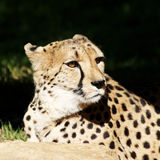Cheetah Face Portrait Royalty Free Stock Photo