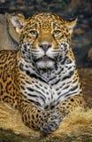 Cheetah facing forward staring. Close up of cheetah face staring stock images