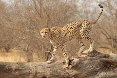 Cheetah on fallen tree Stock Photo