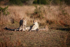 Cheetah Family. A mother and her two babies enjoy the afternoon sun. Photo taken at the Phinda game reserve in South Africa on July 27th 2008 Stock Image