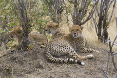 Cheetah family. Stock Photography