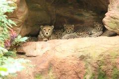 Cheetah Family Stock Photography