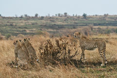 Cheetah family. Cheetah mother and 3 cubs sitting in front of her, all watching out for prey in distance Stock Photography