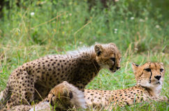 Cheetah family baby cat cute lovely Royalty Free Stock Images