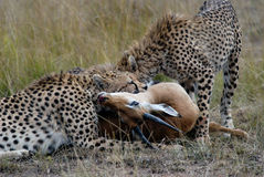 Cheetah family, catching and devouring a gazelle on the African savannah Stock Image