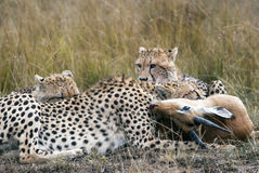 Cheetah family caught and eating Impala in the African savannah stock photography