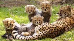 Cheetah family. Cheetah mother with 5 three months old cheetah cubs Royalty Free Stock Photography
