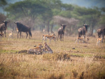 Surounded by wildebeast and antelope, a Cheetah family rests. Royalty Free Stock Images