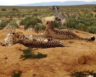 Cheetah family resting in savannah. Group of cheetahs resting in savannah on orange ground, sleeping in siesta royalty free stock images