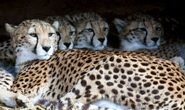 Cheetah family in shelter Royalty Free Stock Photography