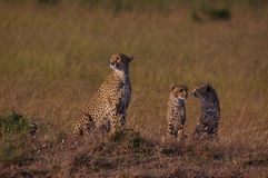 Cheetah family at sunrise Royalty Free Stock Images