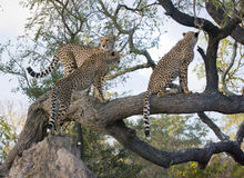 Cheetah family in tree. Stock Images