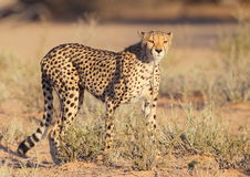Cheetah fastest cat on earth Royalty Free Stock Photo