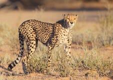 Cheetah fastest cat on earth