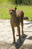 Cheetah 8 Royalty Free Stock Photography