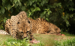 Cheetah feasting. On a piece of fresh meat Royalty Free Stock Photos