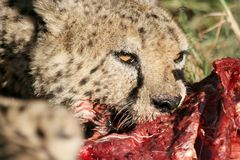 Cheetah feeding. Cheetah from Africa feeding on it's kill Stock Photos