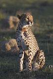 Cheetah female Royalty Free Stock Image