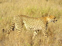 Southern african animals Royalty Free Stock Photography