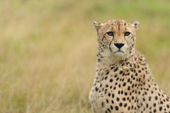 Cheetah in a field of brown grass. Head and Shoulders of a Cheetah sitting amongst dry grass stock photography