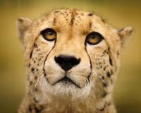 Cheetah in a field of brown grass. Head shot of a Cheetah sitting amongst dry grass royalty free stock image