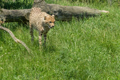 Cheetah in a field Royalty Free Stock Photography