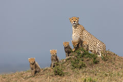 Cheetah with five cubs Stock Images