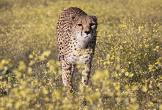 Cheetah between flowers Stock Photo