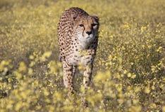 Cheetah between flowers Stock Photo