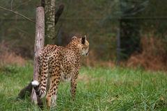 Cheetah Focused Stock Photo