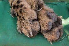 Cheetah foot closeup. Closeup of Cheetah (acinonyx jubatus) foot, toes, claws and nails while sedated, Namibia stock image