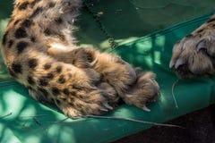 Cheetah foot closeup. Closeup of Cheetah acinonyx jubatus foot, toes, claws and nails while sedated, Namibia stock photo