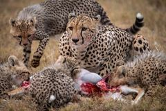 Cheetah and four cubs eat gazelle carcase Stock Image