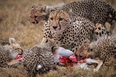 Cheetah and four cubs eating gazelle carcase Stock Photography