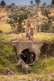 Cheetah and four cubs play around pipe Stock Photo