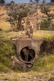 Cheetah and four cubs playing around pipe Royalty Free Stock Photos