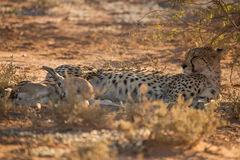 Cheetah with fresh kill Stock Photography