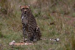 Cheetah with fresh kill in the Masai Mara, Kenya, Africa stock photography