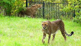 Cheetah, friendly animals at the Prague Zoo. Royalty Free Stock Images