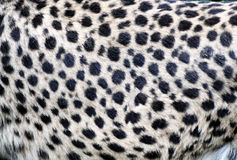 Cheetah fur closeup Royalty Free Stock Photo