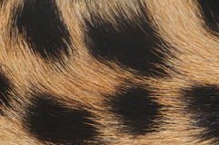 Cheetah fur macro Royalty Free Stock Photos