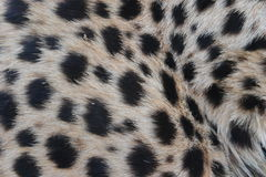 Cheetah fur pattern Stock Photos