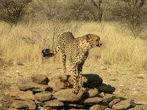 Southern african animals. Cheetah in a game reserve Royalty Free Stock Photography