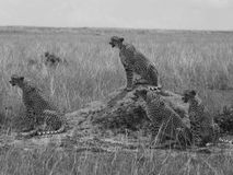 The Cheetah gang. Four male cheetah`s around a termite mound in Masai mara Royalty Free Stock Photography