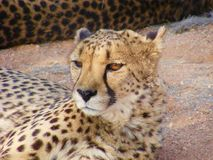 Cheetah Gaze, Namibia, Africa. The cheetah is a large cat of the subfamily Felinae that occurs in Southern, North and East Africa, and a few localities in Iran royalty free stock photo